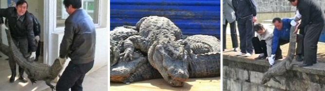 Chińczycy wypuścili ponad 10 tys. aligatorów