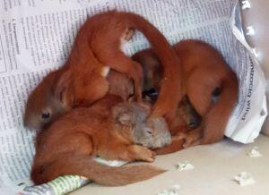 Małe wiewiórki uratowane