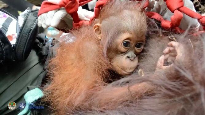 Rodzina orangutanów uciekała przed pożarem