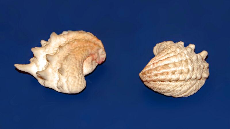 Arcinella cornuta to jeden z gatunków, które badano - zdjęcie ilustracyjne (Wikipedia/Hectonichus (CC BY-SA 3.0))