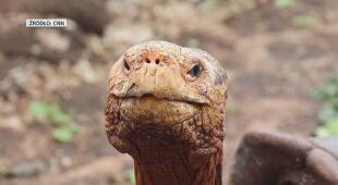 Żółw Diego
