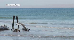 Mnóstwo martwych delfinów na plaży